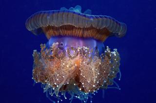 Wurzelmundqualle, Crown jellyfish, Cepha cepha