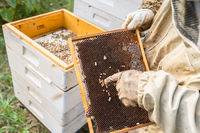 Work in the apiary. Beekeeper taking out a wooden honeycomb frame from a hive to collect honey - Beekeeping concept.