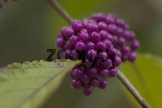 Schönfrucht,  Liebesperlenstrauch , Callicarpa giraldii var. giraldii
