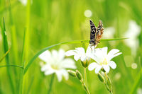 grizzled skipper on white flower V