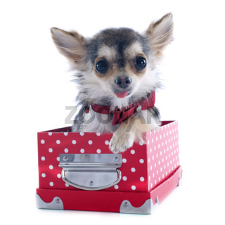 puppy chihuahua in box