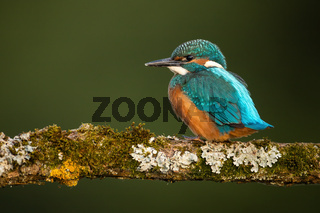 Common kingfisher chick sitting on branch with copy space