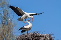Mating white storks, ciconia ciconia.