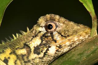 Tropical Anole Lizard, Napo River Basin, Amazonia, Ecuador
