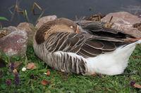 Sleeping Pommern goose