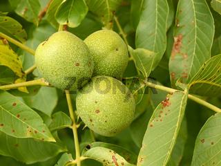 Three unripe walnuts on a branch