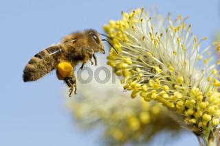 Biene sammelt Nektar am Weidenkätzchen