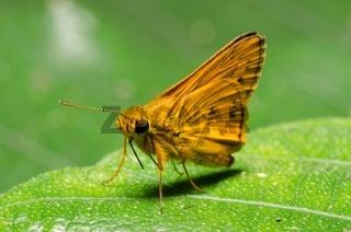 skipper butterfly on green leaf