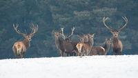 Group of red deer looking on snow in wintertime nature