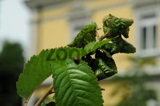 Prunus avium, Suesskirsche, Sweet cherry, mit Blattlaeusen und Marienkaefer