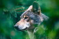 hunting european wolf, Potrait in forest