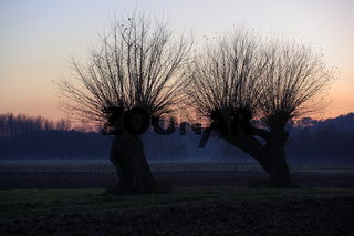 Kopfweide, Salix