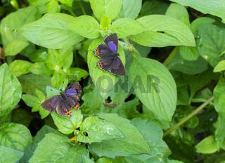 Purple Saffire butterfly Pair open wing, Heliophorus epicles, India