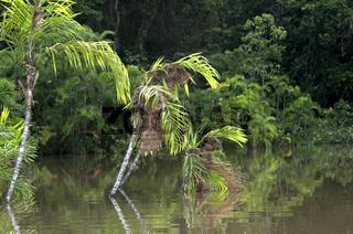 Webnester von Montezuma-Stirnvögeln