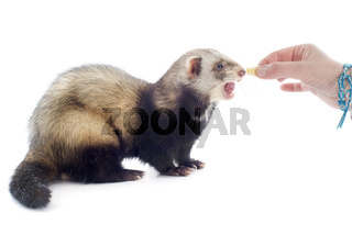 feeding ferret