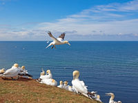 Colony of Northern Gannets (Morus Bassanus) on the island of Helgoland