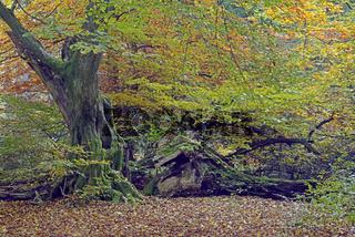 Ca. 800 Jahre alte Buche (Fagus) im Herbst,  Urwald Sababurg Nat