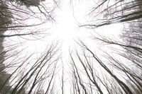 Tall trees, view from below, leafless and bright