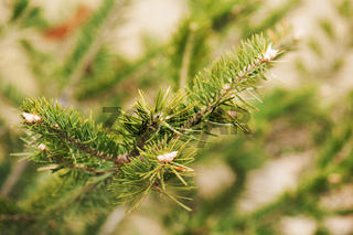 Green branch of the pine tree.