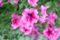 flower Petunia Surfinia Pink Vein