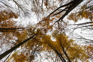 Herbstbunte Rotbuchen (Fagus sylvatica)