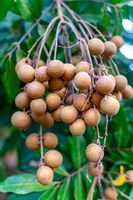 The bunch of dragon's eye or longan on the tree in orchard