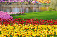 Beautiful yellow tulips and varicolored hyacinths near pond. Spring park.