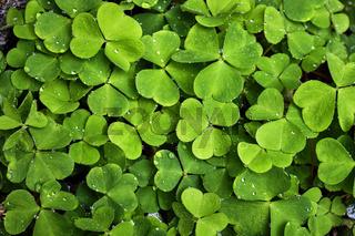 Klee ( Trifolium ).