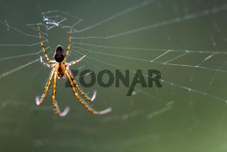 web pisauridae pisaura mirabilis