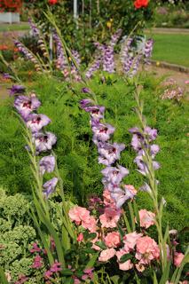 Gladiolus-Hybridus, Gladiole, Swordlily