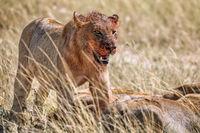 lion after killing an antelope, Etosha National Park, Namibia, (Panthera leo)