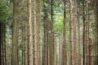Forest with trunks of coniferous trees as background photo