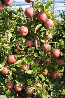 Malus domestica Fuji, Spindelbusch, Apfel