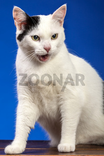 white cat on blue background