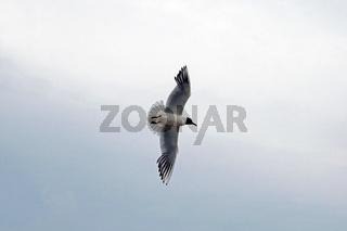 Lachmöwe / mire crow (Chroicocephalus ridibundus)