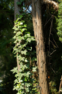 Juniperus communis, Wacholder, Juniper, Stamm