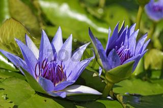 Violett bluehende Seerose, Nymphaea