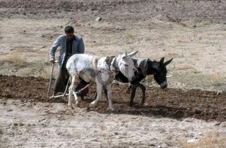Landwirtschaft: Feldbearbeitung mit Eselsgespann