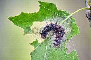 Raupe des Schwammspinners ( Lymantria dispar ).