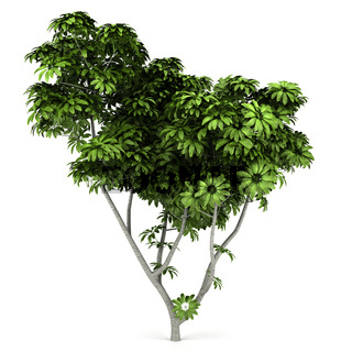 Umbrella tree isolated on white background