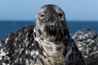 Seal on the dune of Helgoland looking at you
