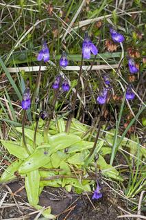 Pinguicula vulgaris, Gemeines Fettkraut, Common Butterwort
