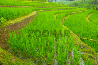 Young Rice Sprouts in the Terraced Fields of Java Island