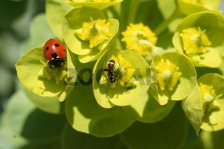 Euphorbia myrsinites, Walzenwolfsmilch, Spurge