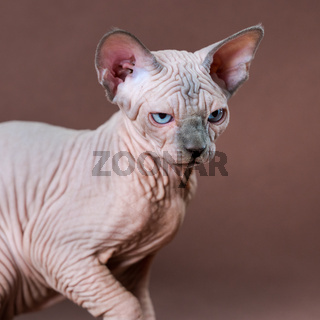 Blue mink and white color Sphinx Cat with blue eyes. Female cat 4 months old on brown background
