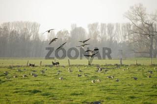 Blässgans, Blaessgans, Anser albifrons, White-fronted Goose
