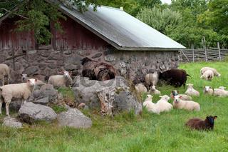 Kleine Schafherde. Schweden