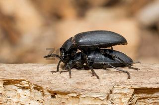 Pairing large black beetles