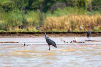 Heron, Ardea Goliath Lake Chamo, Ethiopia, Africa