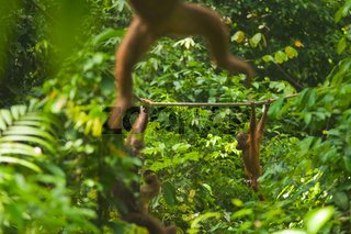 Orangutan Swinging Through Jungle Sepilok